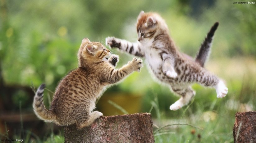 Kitten goes RAWR! Image from http://www.wallpapersbuzz.com/cats/two-playful-kittens.html